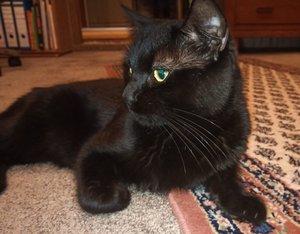 Zwei schwarze Kater und eine Katze abzugeben